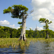 Blue Cypress Lake;Cypress Trees.